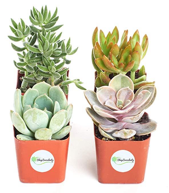 Gifts for secretaries Twelve Unique Succulent Plants