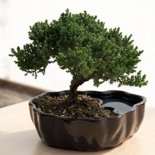 Anniversary gifts for girlfriend Bonsai tree