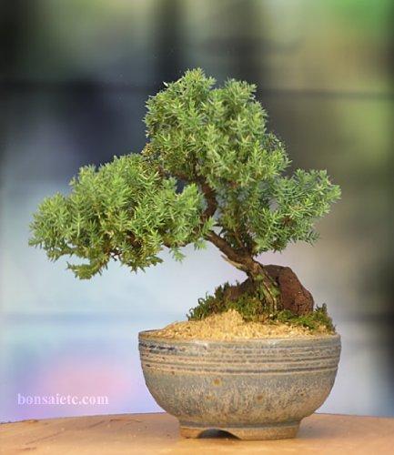 Bonsai Tree a great present for nursing retirement